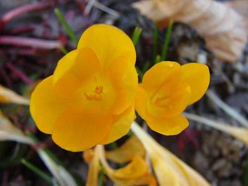 Centaurea-aucherana